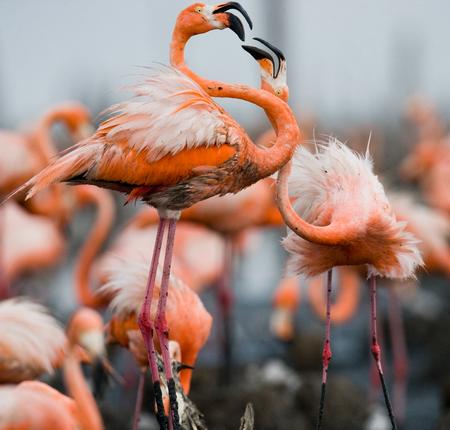 pollitos: Juego de dos adultos de los flamencos del Caribe. Cuba. Reserva Río Maxima. Una excelente ilustración.