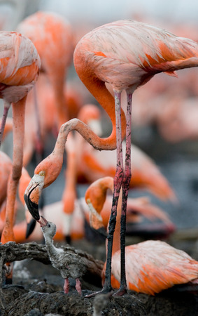 chicks: Caribbean flamingo on a nest with chicks. Cuba. An excellent illustration.