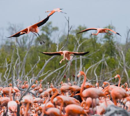 pollitos: flamencos del Caribe que vuelan sobre el agua. Cuba. Reserva Río Maxima. Una excelente ilustración. Foto de archivo