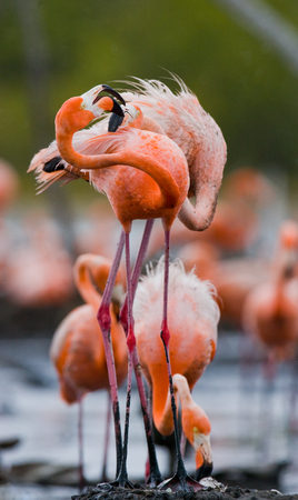 pollitos: Game two adults of the Caribbean flamingo. Cuba. Reserve Rio Maxima. An excellent illustration.