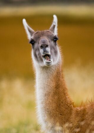 prairie: Portrait of guanaco. Torres del Paine. Chile. An excellent illustration.