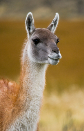 Portrait of guanaco. Torres del Paine. Chile. An excellent illustration.