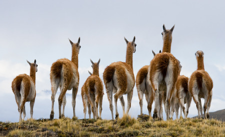 Group guanaco in the national park Torres del Paine. Chile. An excellent illustration.