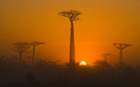 Baobab at dawn. Madagascar. An excellent illustration.