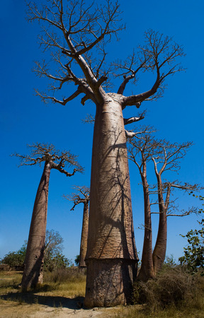 Baobab on background blue sky. Madagascar. An excellent illustration. Stock Photo
