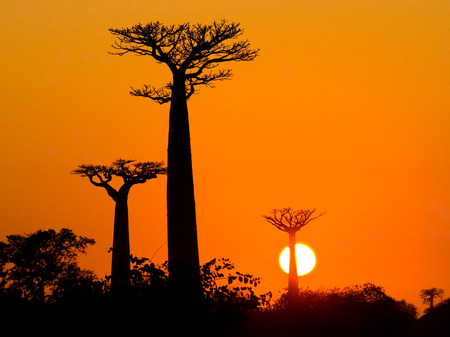 Avenue of baobabs at sunset. General view. Madagascar. An excellent illustration.
