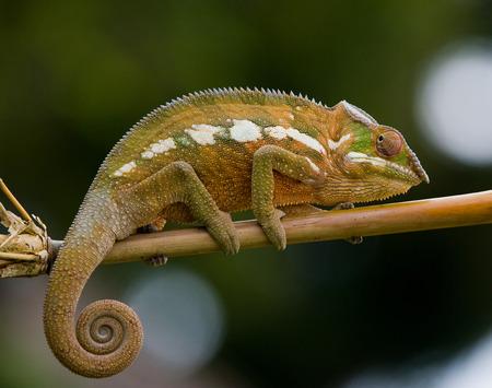 ottimo: Chameleon seduto su un ramo. Madagascar. Un ottimo esempio. Avvicinamento. Archivio Fotografico