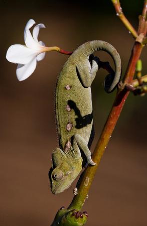 カメレオンの枝に座っています。マダガスカル。優秀なイラスト。クローズ アップ。 写真素材