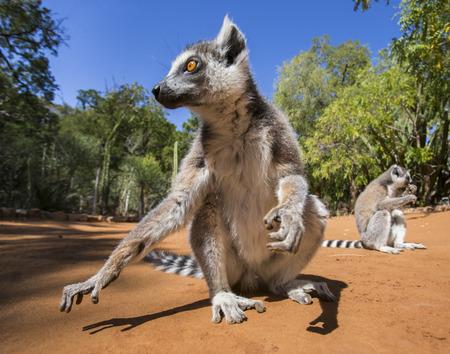 ring-tailed 여우 원숭이 지상에 앉아입니다. 마다가스카르. 훌륭한 그림. 스톡 콘텐츠