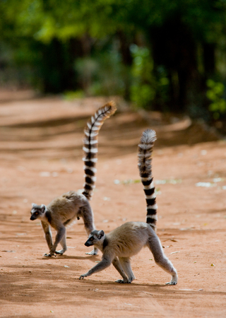 Two ring-tailed lemurs standing on the ground. Madagascar. An excellent illustration.