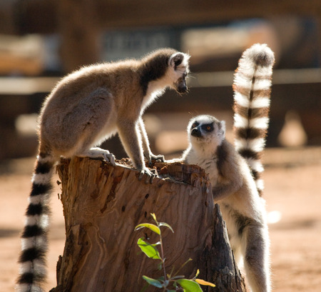 Two ring-tailed lemurs playing with each other. Madagascar. An excellent illustration. Stock Photo