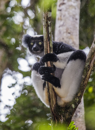 Indri sitting on a tree. Madagascar. Mantadia National Park. An excellent illustration.