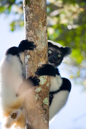 Indri sitting on a tree. Madagascar. Mantadia National Park. An excellent illustration.