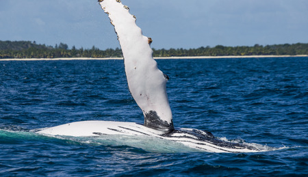 humpback whale: The fin humpback whale. Madagascar. St. Marys Island. An excellent illustration.