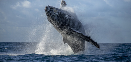 Humpback whale jumps out of the water. Beautiful jump. A rare photograph. Madagascar. St. Marys Island. Фото со стока