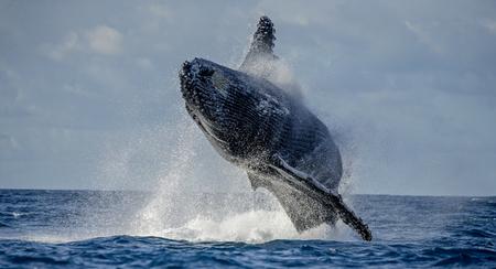 ザトウクジラは、水の中からジャンプします。美しいジャンプ。珍しい写真。マダガスカル。聖マリアの島。優秀なイラスト。 写真素材