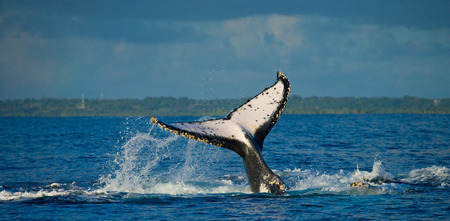 The tail of the humpback whale. Madagascar. St. Marys Island.
