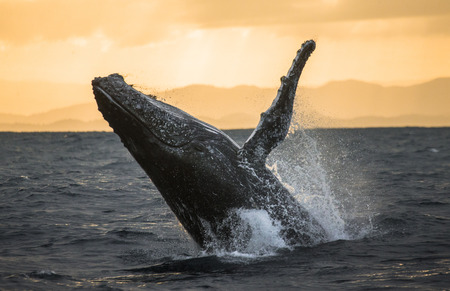Humpback whale jumps out of the water. Beautiful jump. A rare photograph. Madagascar. St. Marys Island. Stock Photo