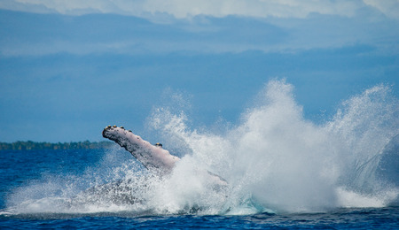 The fin splashing humpback whale. Madagascar. St. Marys Island. An excellent illustration.