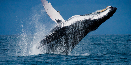 Humpback whale jumps out of the water. Madagascar. St. Marys Island. An excellent illustration. Stock Photo