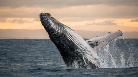 향유 고래는 물에서 뛰어 오른다. 마다가스카르. 세인트 메리 섬. 스톡 콘텐츠