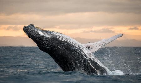 향유 고래는 물에서 뛰어 오른다. 마다가스카르. 세인트 메리 섬