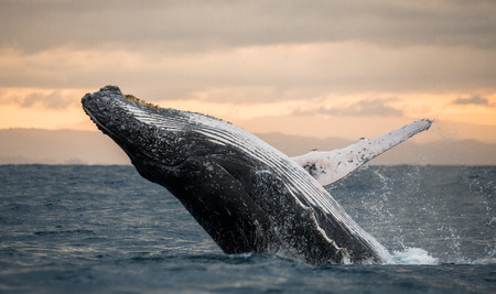 Humpback whale jumps out of the water. Madagascar. St. Mary's Island Stock Photo