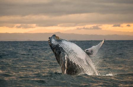 향유 고래는 물에서 뛰어 오른다. 마다가스카르. 세인트 메리 섬. 훌륭한 그림.