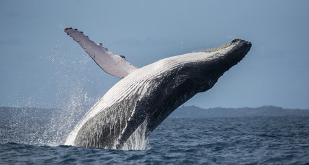 Humpback whale jumps out of the water. Madagascar. St. Marys Island. Stok Fotoğraf