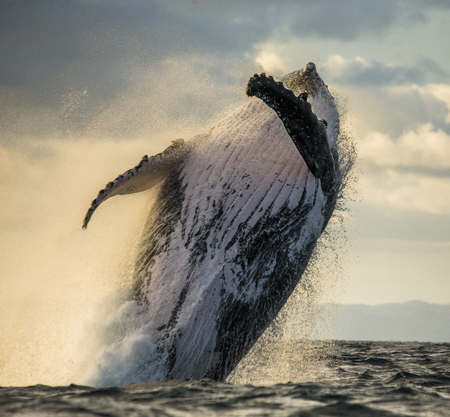 ザトウクジラは、水の中からジャンプします。美しいジャンプ。珍しい写真。マダガスカル。聖マリアの島。