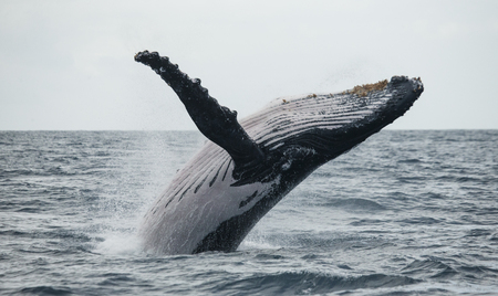 Humpback whale jumps out of the water. Madagascar. St. Marys Island. An excellent illustration. Reklamní fotografie