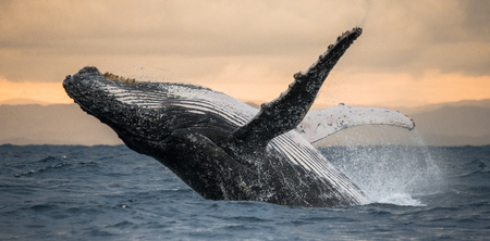 Humpback whale jumps out of the water. Madagascar. St. Marys Island. An excellent illustration. Stok Fotoğraf