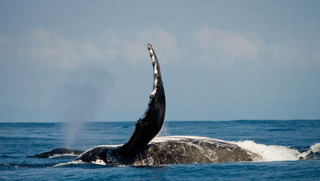 humpback whale: The fin humpback whale. Madagascar. St. Marys Island.