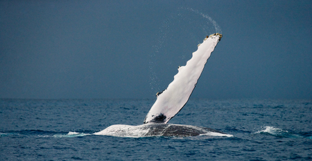The fin humpback whale. Madagascar. St. Marys Island. An excellent illustration.