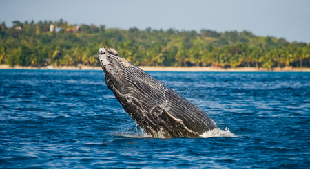 Humpback whale jumps out of the water. Madagascar. St. Marys Island Stock Photo