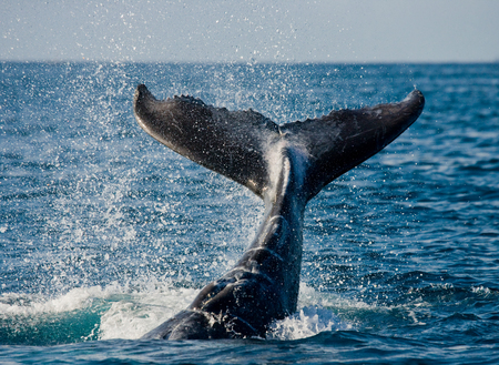 The tail of the humpback whale. Madagascar. St. Marys Island. An excellent illustration.