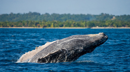 humpback whale: Humpback whale jumps out of the water. Madagascar. St. Marys Island. An excellent illustration. Stock Photo