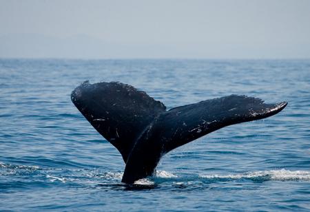 humpback whale: The tail of the humpback whale. Madagascar. St. Marys Island.