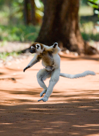 Dancing Sifaka is jumping. Madagascar. An excellent illustration.