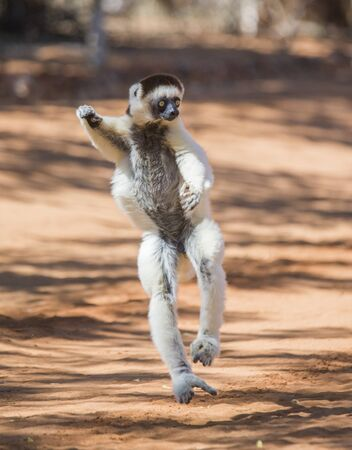 funny picture: Dancing Sifaka is on the ground. Funny picture. Madagascar. Stock Photo