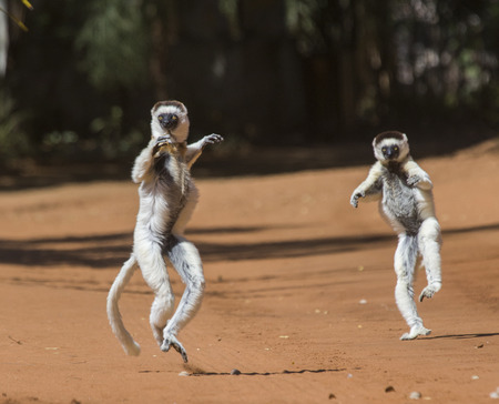 funny picture: Dancing Sifakas are on the ground. Funny picture. Madagascar.