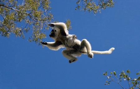 Dancing Sifaka in flight on blue sky background. Madagascar. An excellent illustration.