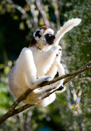 Dancing Sifaka sitting on a tree. Madagascar. An excellent illustration.