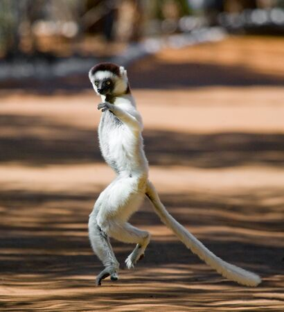 funny picture: Dancing Sifaka is on the ground. Funny picture. Madagascar Stock Photo