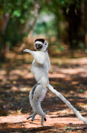 funny picture: Dancing Sifaka is on the ground. Funny picture. Madagascar. An excellent illustration. Stock Photo