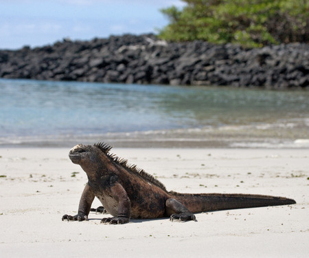 The marine iguana sitting on the white sand. The Galapagos Islands. Pacific Ocean. Ecuador. An excellent illustration. Stock Photo