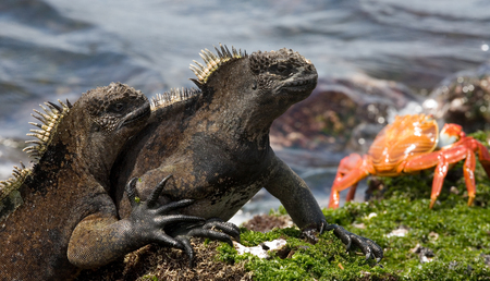 Marine iguanas are sitting on the stones together with crabs. The Galapagos Islands. Pacific Ocean. Ecuador. An excellent illustration. Stock Photo