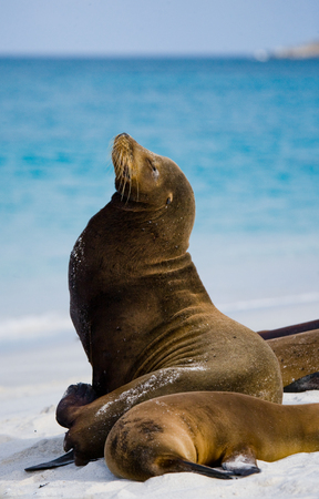 Two sea lions lying on the sand. The Galapagos Islands. Pacific Ocean. Ecuador.