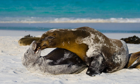 Two sea lions playing with each other. The Galapagos Islands. Pacific Ocean. Ecuador.