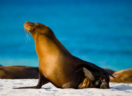 Sea lion sitting on the sand. The Galapagos Islands. Pacific Ocean. Ecuador. An excellent illustration.